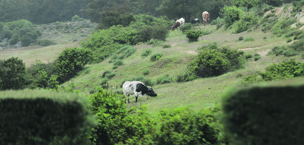 vacas buena